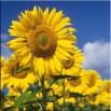 Słoneczniki na polu - obraz nowoczesny nr 2242