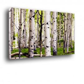 Brzozowy las - obraz nowoczesny nr 2019
