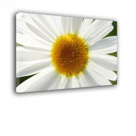 Kwiat Stokrotki - obraz na płótnie nr 2304