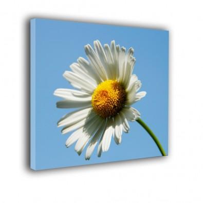 Margerytka na błękitnym niebie - obraz na płótnie nr 2305