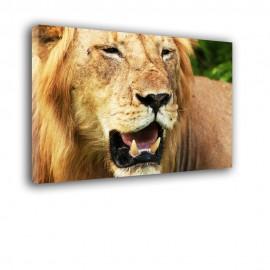 Lew Afryka - obraz na płótnie  nr 2353