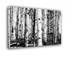 Czarno białe brzozy - obraz nowoczesny drzewa nr 2426