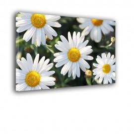 Rumianek - obraz nowoczesny kwiaty nr 2527
