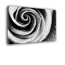 Czano biała róża - obraz na płótnie nr 2119