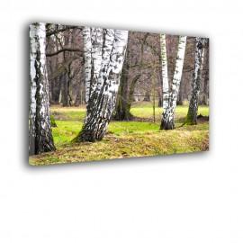 Zimowe pnie brzóz - obraz nowoczesny drzewa  nr 2422