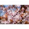 Wiśnia wiosną - obraz nowoczesny kwiaty nr 2461