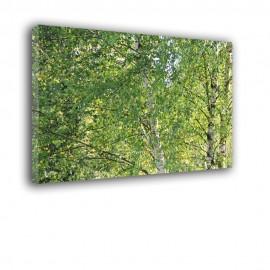 Liście brzozy - obraz na płótnie nr 2512